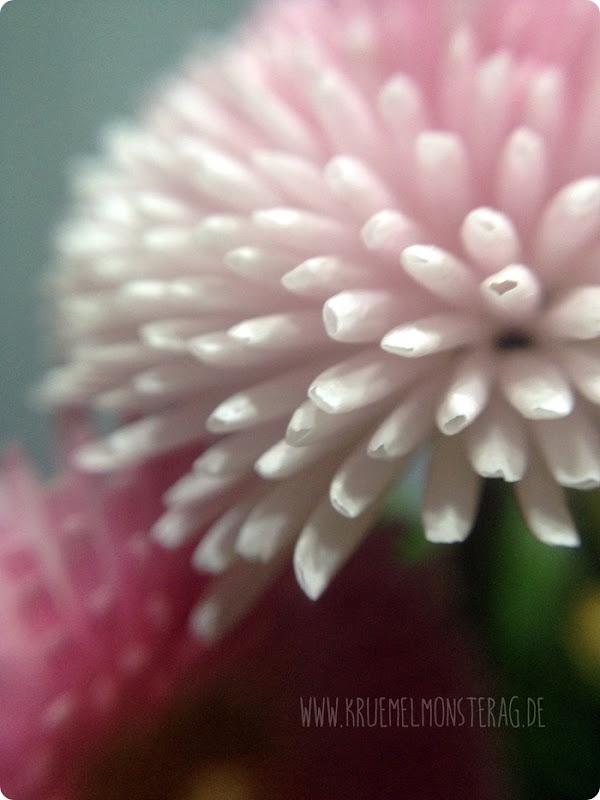 rosa Gänseblümchen (02)