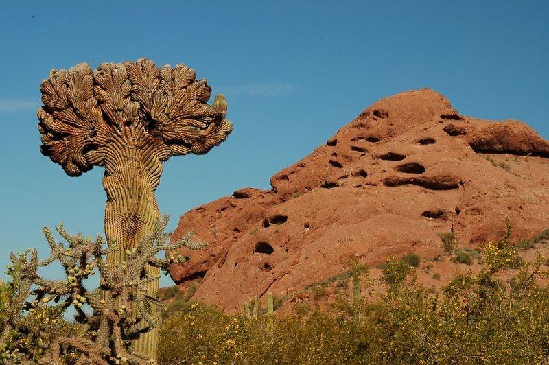 crested-saguaros-8