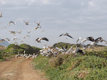 Great white pelicans and African sacred ibis at the Strandfontein Sewage Works