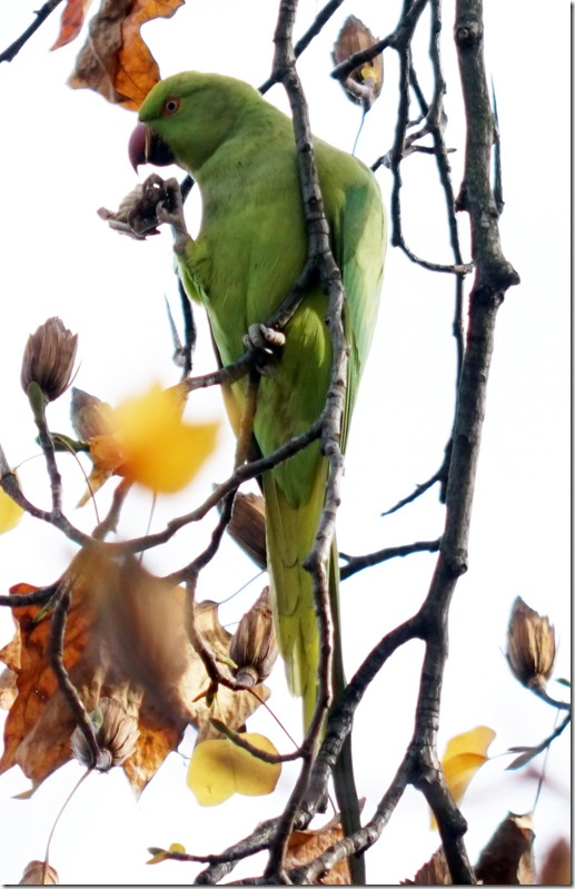 paris email parrot at bois vencennes 110915 00000