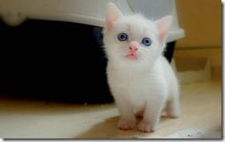 77- gatos blanco o crema (6)- buscoimagenes