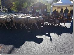 fiera franca 2015 pecore