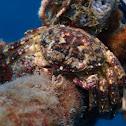 Granular Round Crab