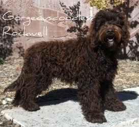 Sire GorgeousDoodles Rocky Rockwell Rok
