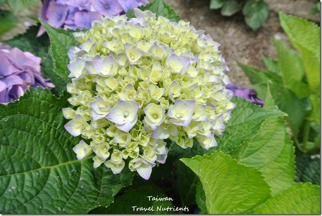 陽明山繡球花 (9)