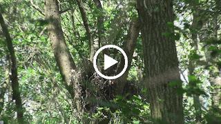 Buizerdjongen op horst in eikenboom