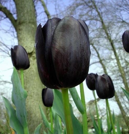 tulipas pretas