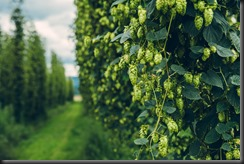 Large Hops Producers