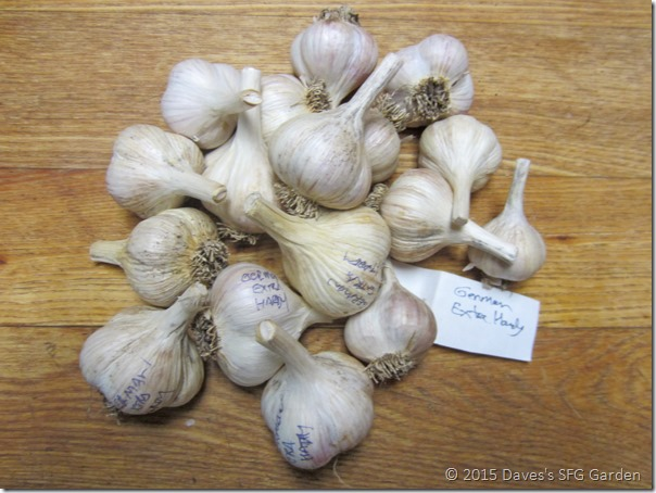 German_Extra_Hardy_garlic