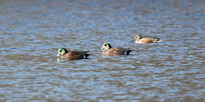 Two male American Wigeon with a Shoveler in the back