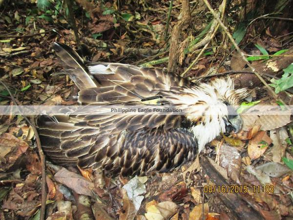 Image of the endangered  eagle killed by the unknown shooter