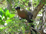 Purple-crested turaco (photo by Clare) - Kruger National Park