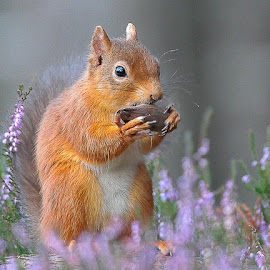 by Col Page - Animals Other ( squirrel cairngorms scotland red heather scotland )