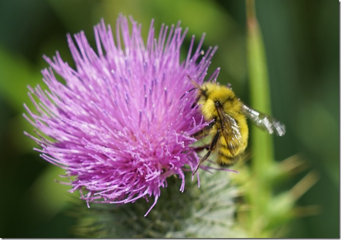 anacortes bee on thistle 071415 00000