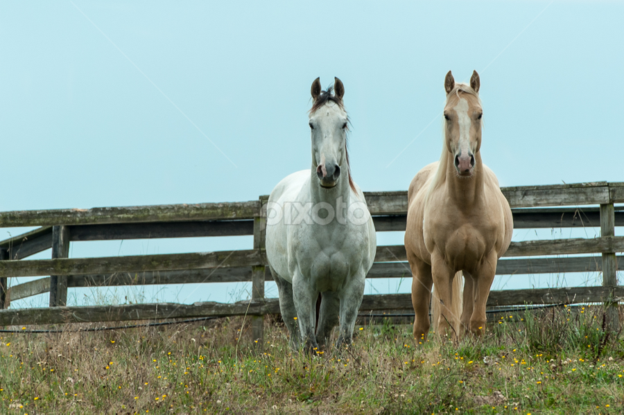 Two Horses by Gabor Dosa - Animals Horses ( horse )