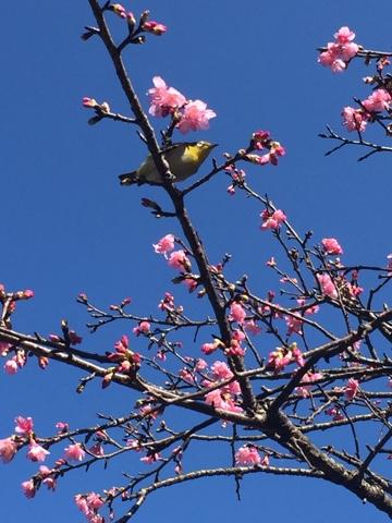 Okinawa Cherry blossom bird