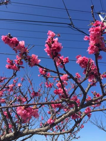 Okinawa cherry blossoms