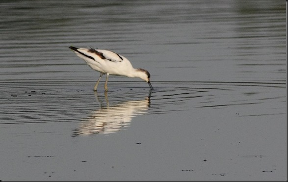 29. _MG_7234xx Avoceta