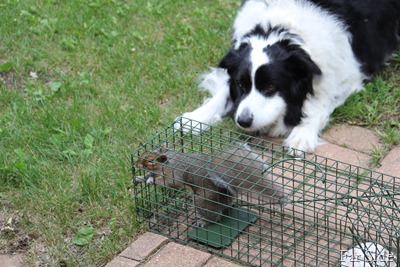 Entertainment for a Border Collie