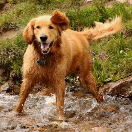 Splish Splash I was takin' a Bath by Kari Schoen - Animals - Dogs Playing ( water, playing, canine, mountains, dog, hiking, river, golden retriever )