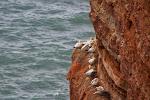 Brutkolonien auf Helgoland