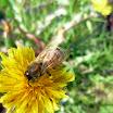 Honey Bee on Daisy.jpg