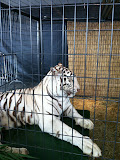 A white tiger at Navy Pier Park in Chicago 01152012d