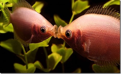be-ca-canh-kissing_gourami_camui_cahuong001-be-thuy-sinh