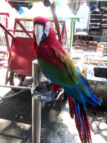 jual macaw green wing bamsbreeder