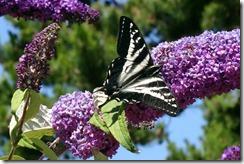 lopez tiger swallowtail 062015 00004