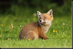 Fox Cub_5233 (2)