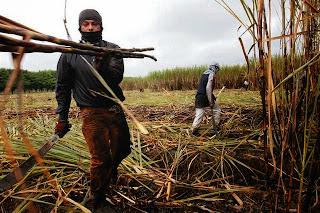 GUAYAQUIL-ECUADOR. 17/07/08 AGROMAR. ZAFRA.LA ZAFRA O COSECHA DE CA—A DE AZUCAR SE INICIO A PRINCIPIOS DEL MES DE JULIO. EN EL INGENIO SAN CARLOS, VEMOS EL PROCESO DE CORTE MANUAL DE LA CA—A. LUIS BAJA—A CORTA CA—A Y LA LANZA HACIA UN LADO.CAMILO PAREJA/EL COMERCIO