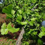 Arboretum de la Vallée-aux-Loups : ginkgo pleureur