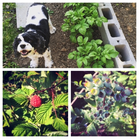 Pacific Northwest garden, raspberries, blueberries, potatoes