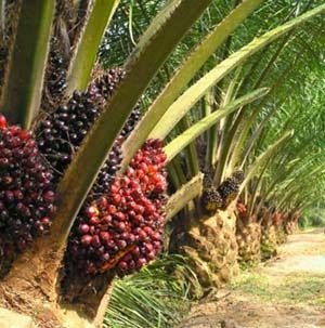 Palma da olio con frutti maturi