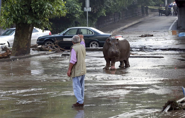 A man gestures to an escaped hippopotamus in a flooded street in Tbilisi, 14 June 2015. Photo: BESO GULASHVILI / Reuters