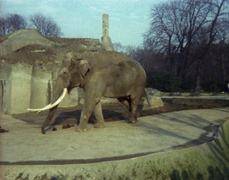 1981.02.01-013-04 éléphant d'Asie