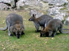 Sauvage kangourous
