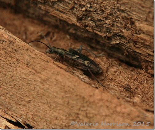 28-two-banded-longhorn