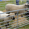 Sheep & Rare Breeds 2015