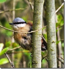 Nuthatch May 2015 (2)
