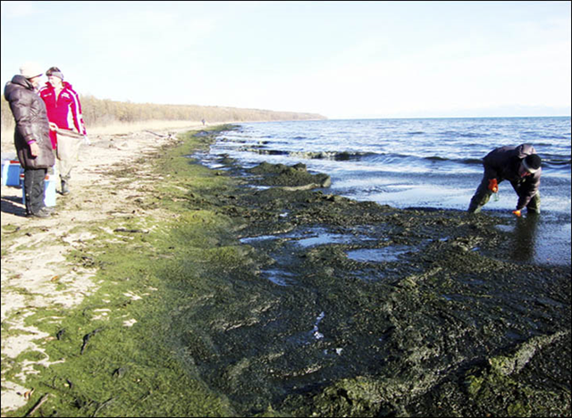 An algae bloom coats the shore of Lake Baikal, 20 November 2015. Scientist Oleg Timoshkin said, 'The lake is covered with algae. Spirogyra is an indicator of fecal contamination.' Photo: Oleg Timoshkin / Arigus TV