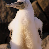 A Blue-Footed Booby Chick Learning From Its Parents...