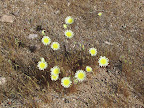 Desert Dandelion/Yellow Compositacea 4/34/3