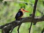 African pygmy kingfisher (photo by Clare) - Mkhuze Game Reserve