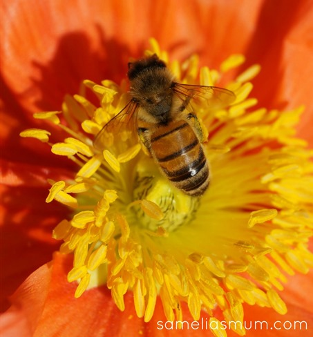 Bee in a Matilda Poppy