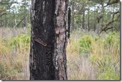 Old Turpentine Tree closeup