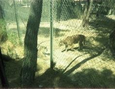 1982.06.28-028.08 tigres