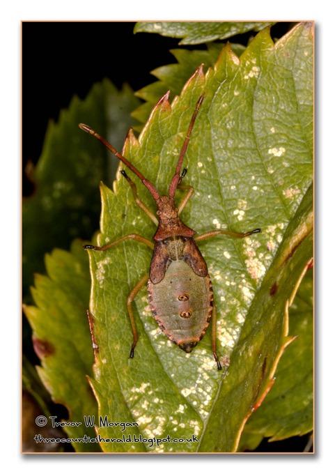 Bug Affair 9 Colonist Box Bug