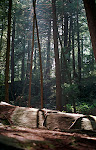 Thick virgin forest in Swallow Falls State Park, Western Maryland.